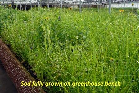 Prairie Sod Fully Grown on Greenhouse Bench