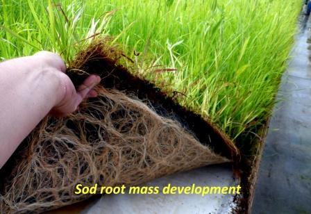 Prairie Sod Rootmass Development