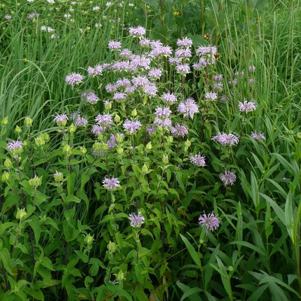 Wild Bergamot (Monarda fistulosa) - Seed