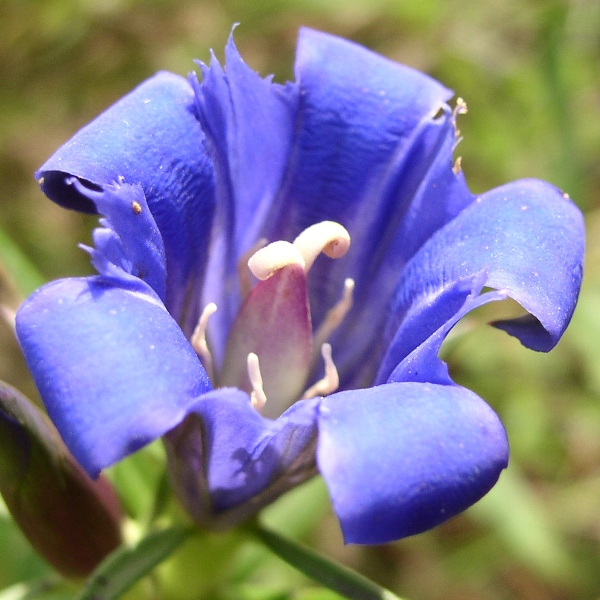 Bottle Gentian Gentiana Andewsii Seed