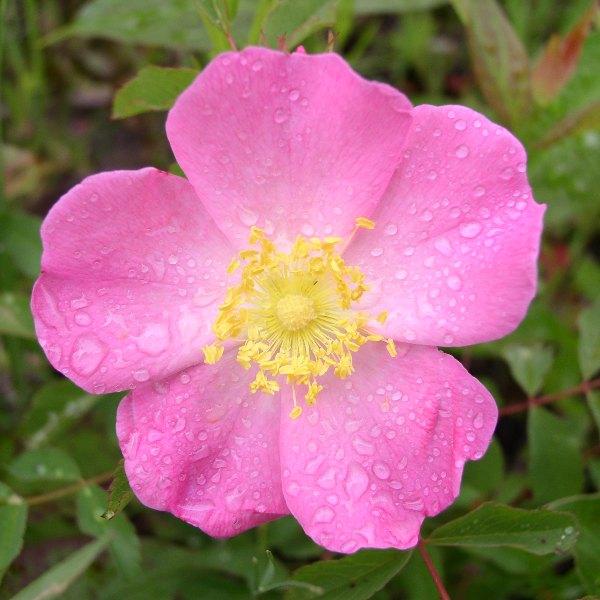 prairie wild rose rosa arkansana seed. Black Bedroom Furniture Sets. Home Design Ideas