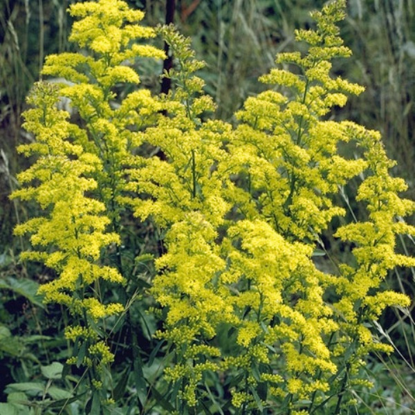 Goldenrod Plant Seed Showy Goldenrod (Solid...