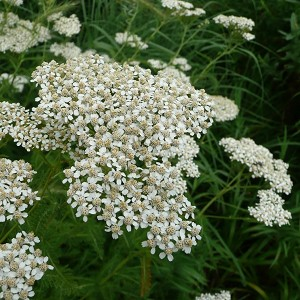 Native Yarrow (Achillea millefolium) - Plants