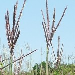 Big Bluestem (Andropogon gerardii) - Plants