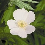 Meadow Anemone (Anemone canadensis) - Seed