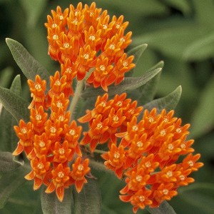 Butterfly Weed (Asclepias tuberosa) - Plants