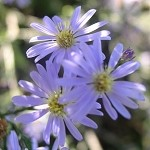 Drummond's Aster (Aster drummondii) - Seed