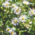 Heath Aster (Aster ericoides) - Plants