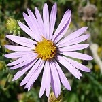 Smooth Blue Aster (Aster laevis) - Plants