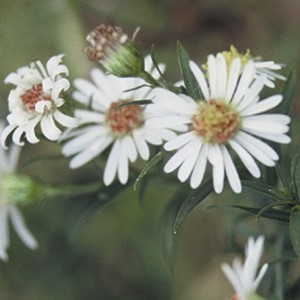 Frost Aster (Aster pilosus) - Plants