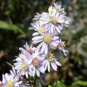Arrow-Leaved Aster (Aster sagittifolius) - Plants