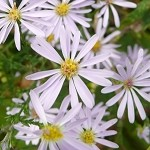 Short's Aster (Aster shortii) - Seed