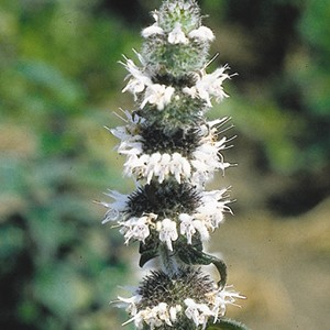 Hairy Wood Mint (Blephilia hirsuta) - Seed