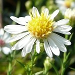 False Aster (Boltonia aster) - Plants