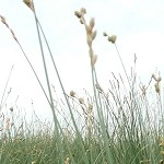 Copper-Shouldered Oval Sedge (Carex bicknellii) - Plants