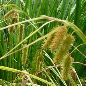 Bristly Sedge (Carex comosa) - Plants