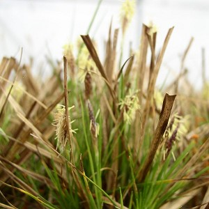 Common Oak Sedge (Carex pensylvanica) - Plants