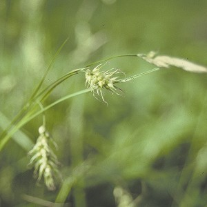 Long-Beaked Sedge (Carex sprengelii) - Plants