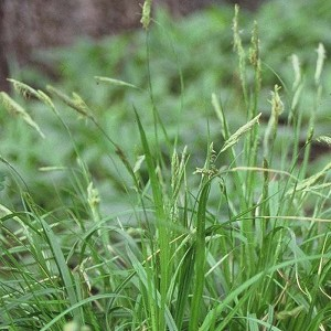 Tussock Sedge (Carex stricta) - Plants