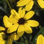 Tall Coreopsis (Coreopsis tripteris) - Seed