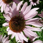 Purple Coneflower (Echinacea purpurea) - Plants