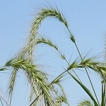 Canada Wild Rye (Elymus canadensis) - Seed