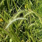 Riverbank Wild Rye (Elymus riparius) - Plants
