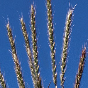 Virginia Wild Rye (Elymus virginicus) - Plants