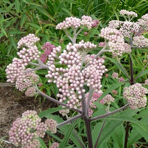 Spotted Joe-Pye Weed (Eupatorium maculatum) - Plants