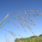 Reed Manna Grass (Glyceria grandis) - Seed