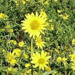 Saw-Tooth Sunflower (Helianthus grosseserratus) - Seed