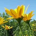 Early Sunflower (Heliopsis helianthoides) - Plants