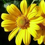 Pale-Leaf Sunflower (Helianthus strumosus) - Plants