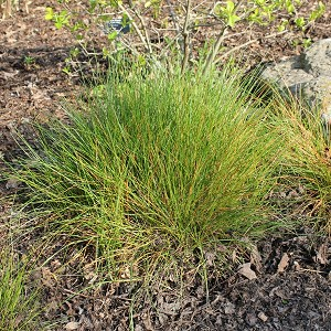 Path Rush (Juncus tenius) - Plants