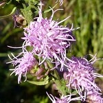 Rough Blazing Star (Liatris aspera) - Plants