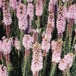Marsh Blazing Star (Liatris spicata) - Plants