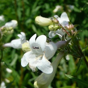 Smooth Penstemon (Penstemon digitalis) - Plants