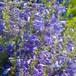 Large Flower Penstemon (Penstemon grandiflorus) - Plants