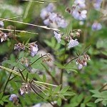 Jacob's Ladder (Polemonium reptans) - Plants