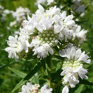 Mountain Mint (Pycanthemum virginicum) - Seed