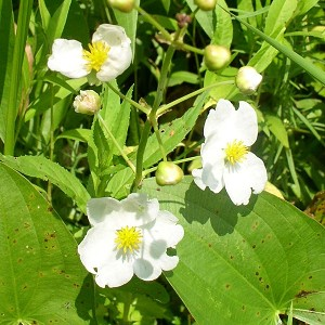 Common Arrowhead (Sagittaria latifolia) - Plants