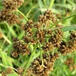 Dark Green Bulrush (Scirpus atrovirens) - Plants