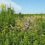 Tallgrass Prairie for Medium Soils