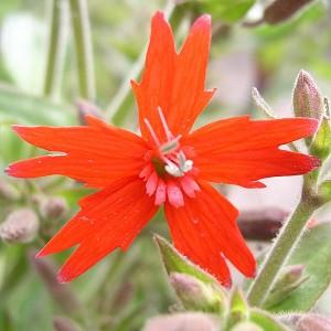 Fire Pink Silene Virginica Seed