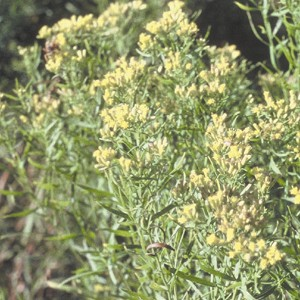 Grass-Leaved Goldenrod (Solidago graminifolia) - Plants