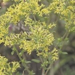 Old Field Goldenrod (Solidago nemoralis) - Plants