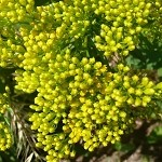 Ohio Goldenrod (Solidago ohioensis) - Plants