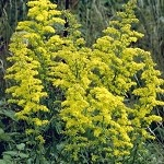 Showy Goldenrod (Solidago speciosa) - Plants