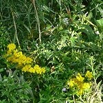 Elm-Leaved Goldenrod (Solidago ulmifolia) - Plants
