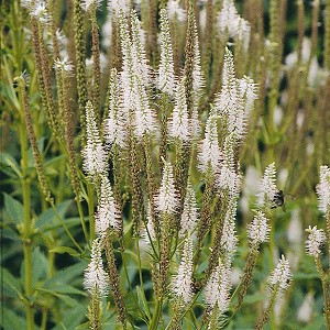 Culver's Root (Veronicastrum virginicum) - Plants